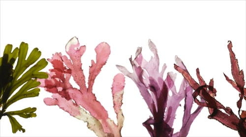 Paintings by Josie Iselin seen at Zuckerberg San Francisco General Hospital and Trauma Center, San Francisco - Bolinas Seaweeds
