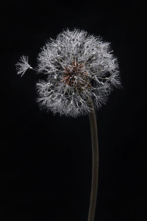 Sculptures by Shota Suzuki seen at Kyoto, Kyoto - Dandelion Fluff