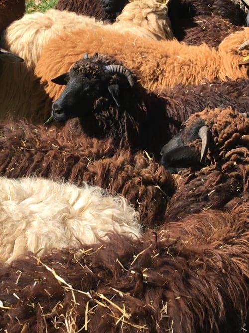 Rugs by Lana Dura LLC seen at Taos, Taos - Navajo-Churro sheep