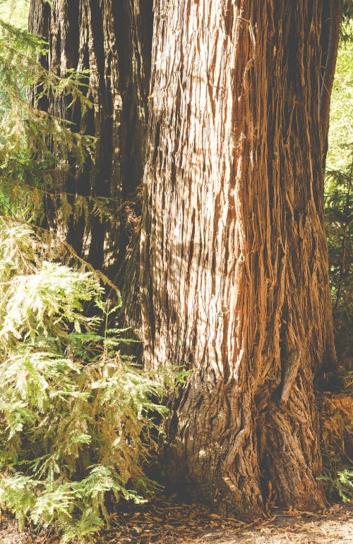 Big Sur Redwoods   Photography by Kara Suhey Print Shop