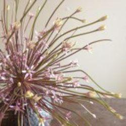 Hollyflora